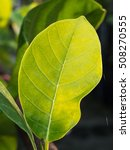 Small photo of Surface of Yellow Jack Fruit leaf
