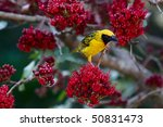 Spotted Backed Weaver In A...