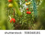 Tomato Plantations In A Green...
