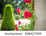 Stock photo roses in sanssouci garden 508427509