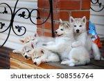 Pretty Husky Puppies