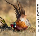 Small photo of Birds - Common Pheasant (Phasianus colchicus) - male, rooster