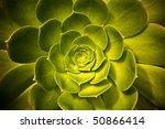 Variegated Succulent