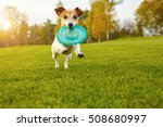 Stock photo adorable small dog jack russell terrier playing with blue rubber toy disk happy pet games 508680997