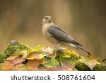 Small photo of Sparrow hawk in a autumn setting - sperwer - accipiter nisus