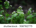Young Queen Anne's Lace