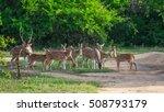 Herd Of Deer Ceylon. Safari In...