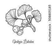 ginkgo biloba plant  leaf ... | Shutterstock .eps vector #508805185