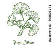 ginkgo biloba plant  leaf ... | Shutterstock .eps vector #508805191