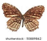 Small photo of Common Palmfly Butterfly (Elymnias nesa lioneli), underside