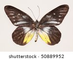 Small photo of Butterfly (Delius ninus ninus)