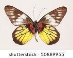 Small photo of Butterfly (Delius ninus ninus), underside