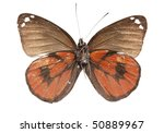 Small photo of Butterfly (Delias Nais Denigrate), male, underside