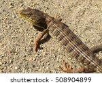 Small photo of Alligator Lizard, Elgaria coerulea
