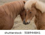 two icelandic ponies nuzzle up... | Shutterstock . vector #508944841