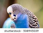 budgerigar parakeet sitting on ...   Shutterstock . vector #508945039
