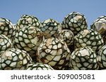 pineapples or agave heads the... | Shutterstock . vector #509005081