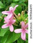 Small photo of Close-up Pink Ruspolia / Pink Ruttyruspolia 'Phyllis Van Heerden' in garden.