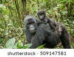 Baby Mountain Gorilla Sitting...