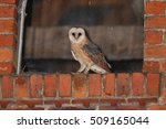 captive barn owl tyto alba | Shutterstock . vector #509165044