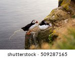Puffin Poop  Iceland.