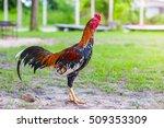 gamecock  fighting cock | Shutterstock . vector #509353309