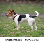 One Year Old Jack Russell...