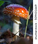 Small photo of Amanita muscaria, Commonly known as the fly agaric