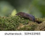 common shrew  sorex araneus | Shutterstock . vector #509433985