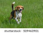 Happy Beagle Dog Having Fun On...