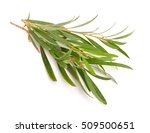 melaleuca twigs. isolated on... | Shutterstock . vector #509500651