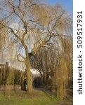 weeping willow tree without...   Shutterstock . vector #509517931