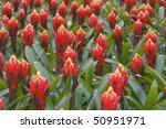 bromelia's | Shutterstock . vector #50951971