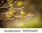 the first spring gentle leaves  ... | Shutterstock . vector #509531695