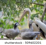 great white pelican | Shutterstock . vector #509602201