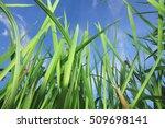 grass sky background.selective...   Shutterstock . vector #509698141