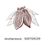 cocoa beans freehand drawing ... | Shutterstock .eps vector #509709259