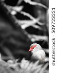 Small photo of Red-browed Finch (Neochmia temporalis) in black and white tone. Portrait of Red-browed Finch and focus on bird's eye.