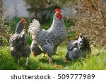 rooster and hens on a... | Shutterstock . vector #509777989