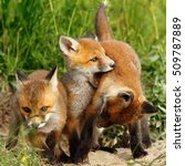 Family Of Red Foxes Playing...