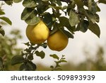 Fresh Raw Organic Quince On Th...