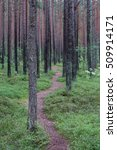 Path Through Pine Tree Forest
