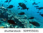Small photo of Thompson surgeonfishes (Acanthurus thompsoni) in ocean blue background, Maldives