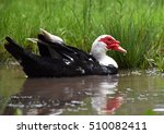 A Red  White And Black Muscovy...