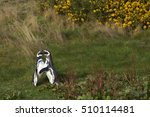 Pair Of Magellanic Penguin ...