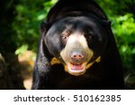 The Malayan Sun Bear  Honey...