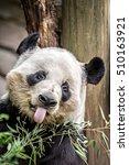 Small photo of giant panda eating green bamboo