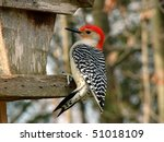 Red Bellied Woodpecker Male