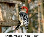 Red Bellied Woodpecker Male