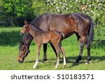 Mare With Her Foal In Spring
